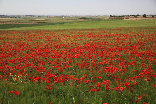 太陽の光「field with poppies」:スマホ壁紙(3)