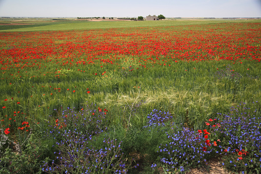 太陽の光「field with poppies」:スマホ壁紙(4)
