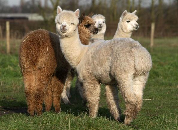 Knutsford「Alpaca Farmer Produces Christmas Gifts」:写真・画像(14)[壁紙.com]