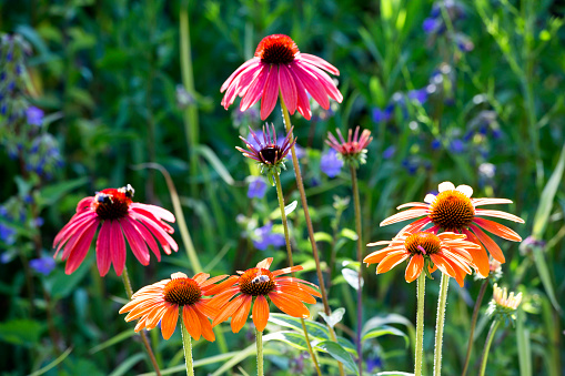 Wildflower「Botanic Garden, honeybees on coneflowers」:スマホ壁紙(13)
