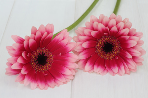 薄ピンク「Pair of two toned pink gerbera flowers」:スマホ壁紙(9)