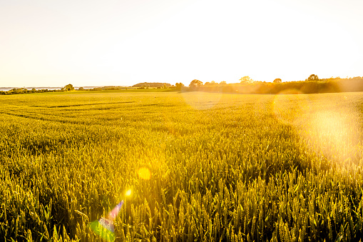 Back Lit「Wheat field in sunlight」:スマホ壁紙(1)