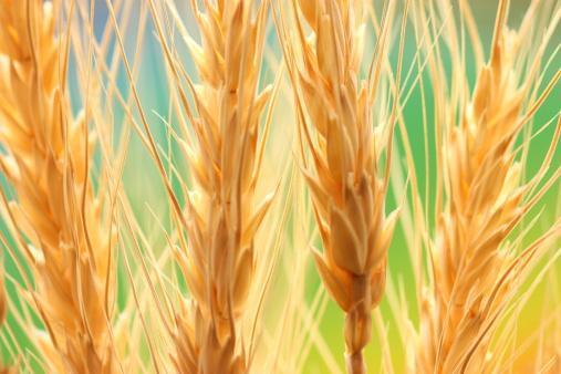Sepia Toned「Wheat field」:スマホ壁紙(1)
