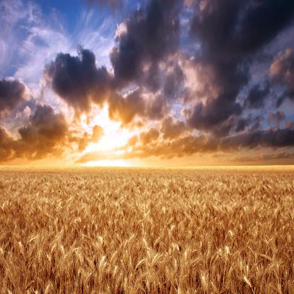 アケビ「XXXL 小麦のフィールドの夕日」:スマホ壁紙(17)