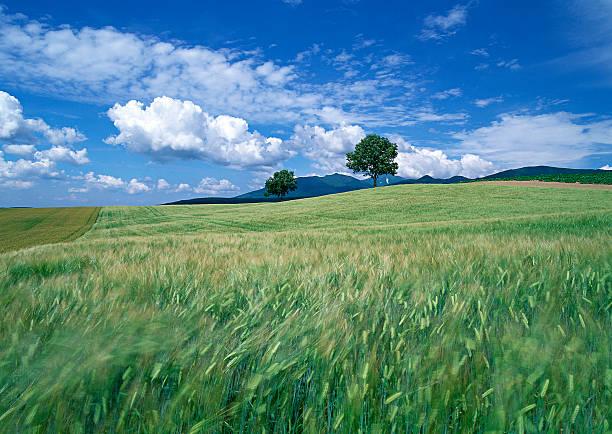 Wheat Field:スマホ壁紙(壁紙.com)