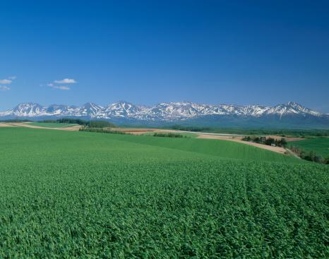 Kamikawa District - Ishikari「Wheat Field of Shinsei, Biei, Hokkaido, Japan」:スマホ壁紙(15)