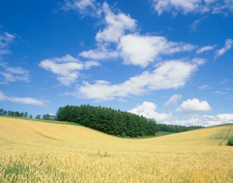 Kamikawa District - Ishikari「Wheat Field and Larch Hill, Shinsei, Biei, Hokkaido, Japan」:スマホ壁紙(16)