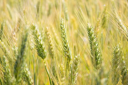 Rye - Grain「Wheat field in day time」:スマホ壁紙(6)