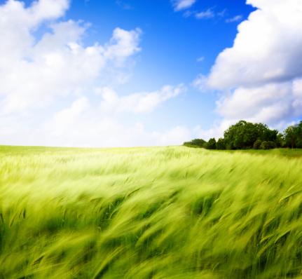 農業「小麦のフィールド。」:スマホ壁紙(18)