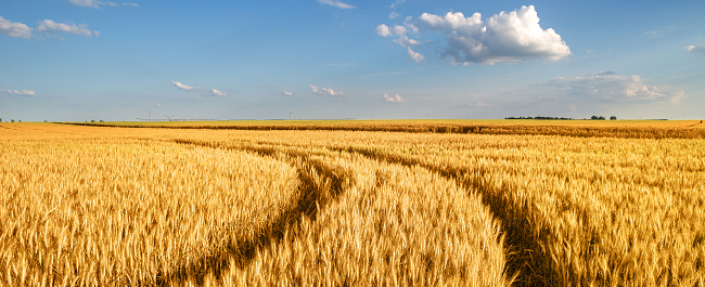Web Banner「Wheat field in summer」:スマホ壁紙(17)
