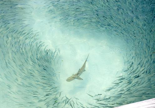 Animals Hunting「Reef Shark Swimming Around School of Fish」:スマホ壁紙(5)