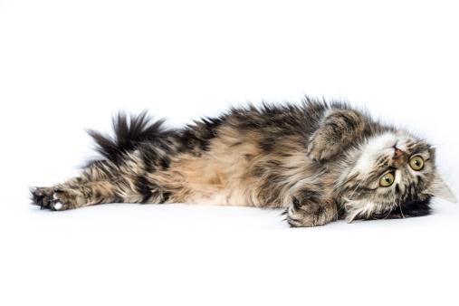 Lying On Back「European longhair」:スマホ壁紙(3)
