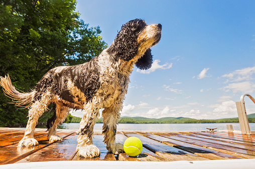 Spaniel「Wet dog standing with ball on jetty」:スマホ壁紙(19)