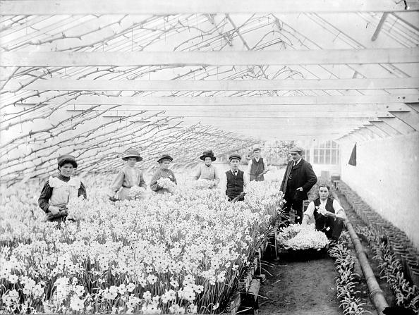 スイセン「Greenhouse Daffodils」:写真・画像(4)[壁紙.com]