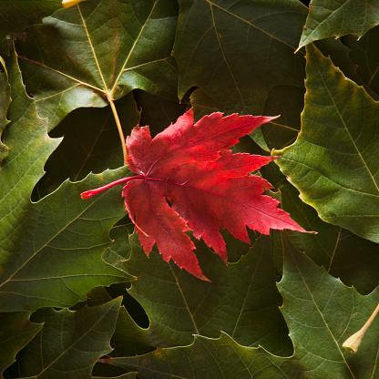 セイヨウカジカエデ「Maple Leaf on top of sycamore leaves」:スマホ壁紙(2)