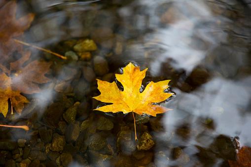 かえでの葉「Maple leaf floating on water.」:スマホ壁紙(16)