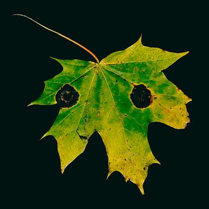 セイヨウカジカエデ「Maple leaf, Acer pseudoplatanus, autumn colours」:スマホ壁紙(16)