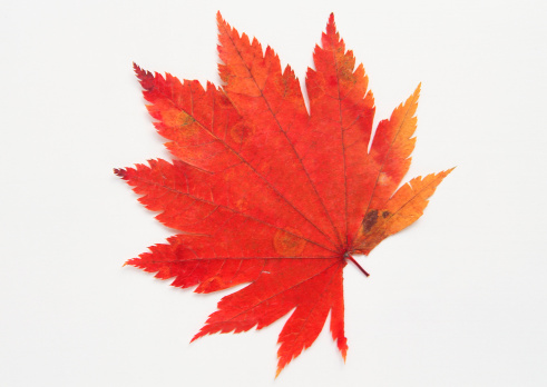 Japanese Maple「Maple Leaf」:スマホ壁紙(14)