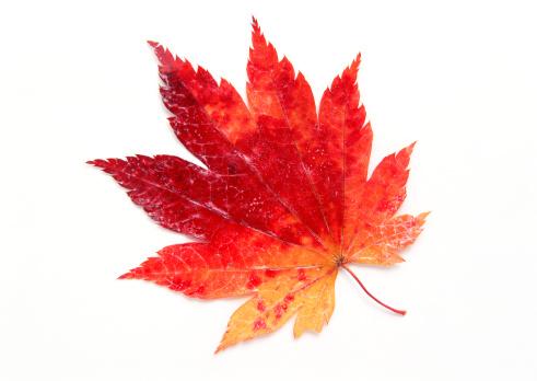 Japanese Maple「Maple Leaf」:スマホ壁紙(16)