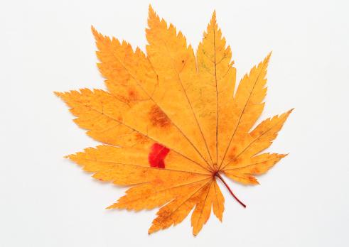 Japanese Maple「Maple Leaf」:スマホ壁紙(17)