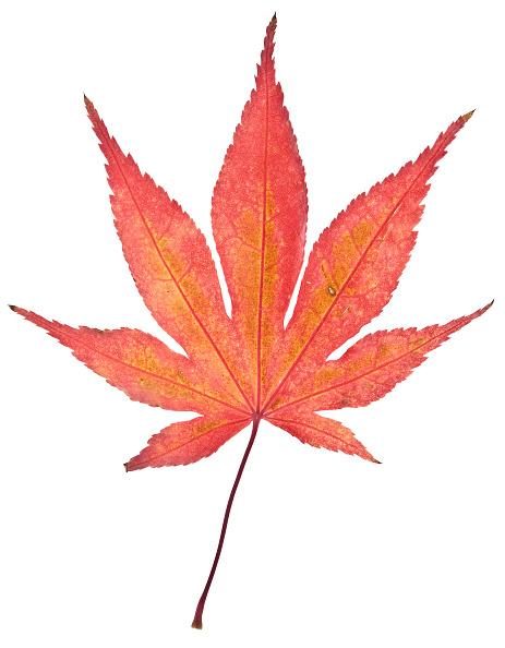 葉・植物「Maple Leaf In Autumn」:写真・画像(1)[壁紙.com]