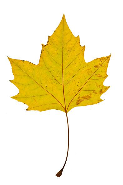 葉・植物「Maple Leaf In Autumn」:写真・画像(2)[壁紙.com]