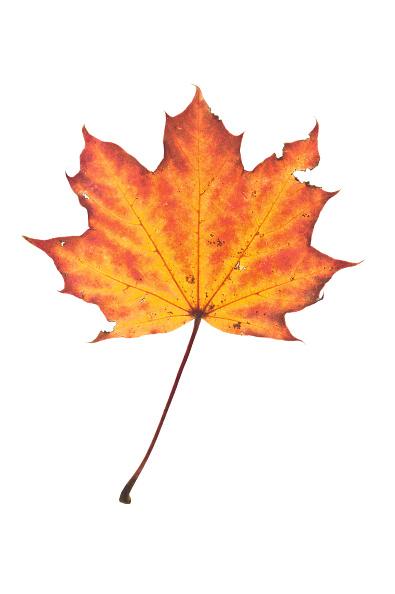 Leaf「Maple Leaf In Autumn」:写真・画像(17)[壁紙.com]