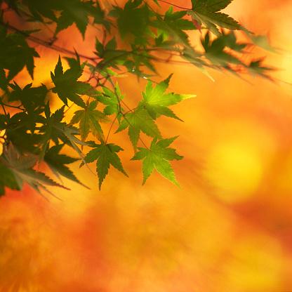 Japanese Maple「Maple leaf against orange background」:スマホ壁紙(12)