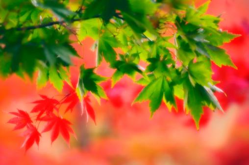 Japanese Maple「Red And Green Maple Leaves. Acer palmatum」:スマホ壁紙(9)