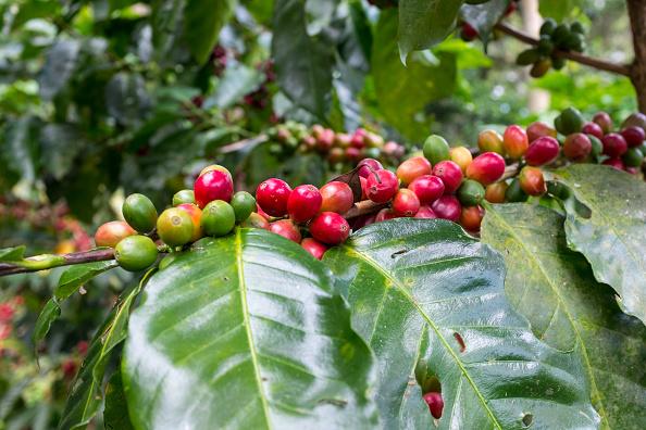 Cherry「Coffee Plants In Nicaragua」:写真・画像(15)[壁紙.com]