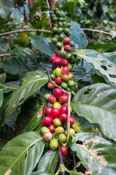 成長「Coffee Plants In Nicaragua」:写真・画像(12)[壁紙.com]