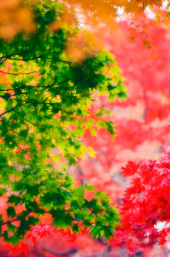 Japanese Maple「Red And Green and Yellow Maple Leaves. Acer palmatum」:スマホ壁紙(18)