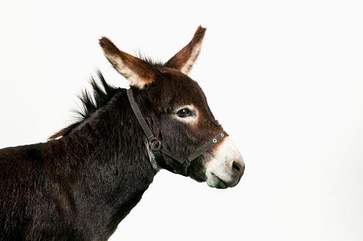 Ass「Miniature Donkey」:スマホ壁紙(12)
