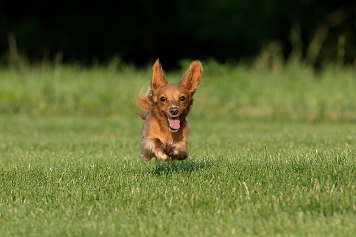 Dachshund「Miniature Dachshund running toward camera」:スマホ壁紙(12)