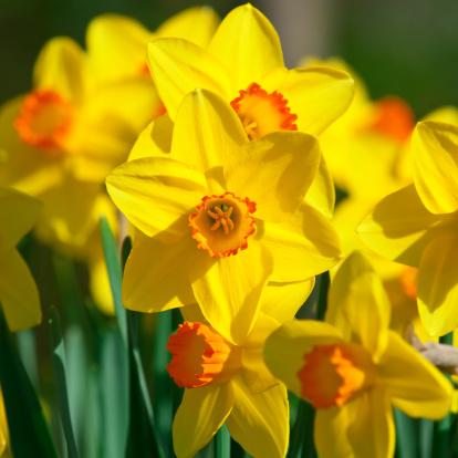 水仙「何の daffodils 、Narcissus'Orangery'cultivar -VI」:スマホ壁紙(18)