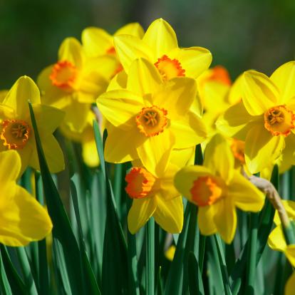 水仙「何の daffodils 、Narcissus'Orangery'cultivar -II」:スマホ壁紙(17)