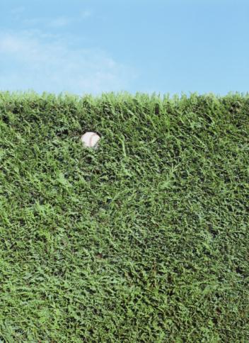 Off Target「Baseball stuck in thick juniper hedge (Juniperus chinesis), close-up」:スマホ壁紙(18)