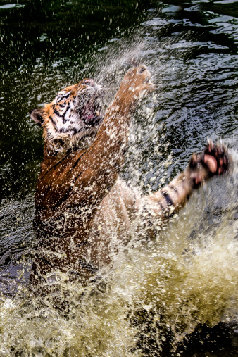 Pouncing「Tiger pouncing out of water」:スマホ壁紙(19)