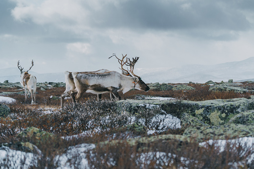 Boreal Forest「Reindeer in Mongolia in winter」:スマホ壁紙(18)