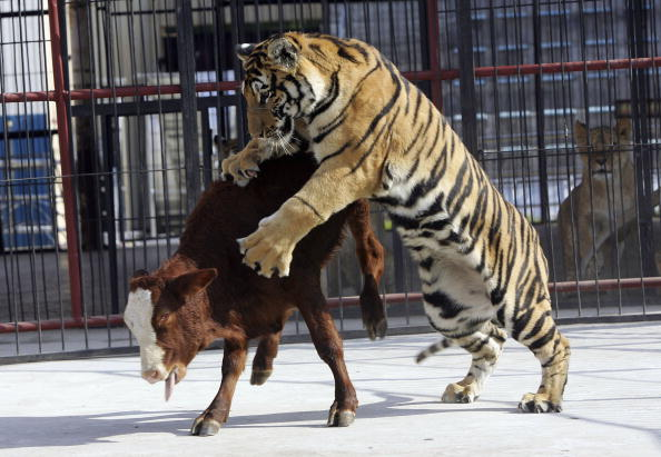 Animals Hunting「Captive Animals Hunt Live Prey At Changchun Wildlife Park」:写真・画像(2)[壁紙.com]