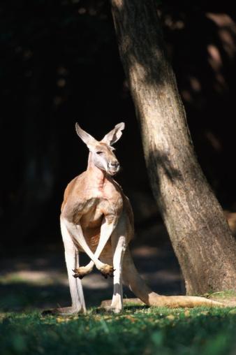 カンガルー「Red Kangaroo (Macropus rufus)」:スマホ壁紙(6)