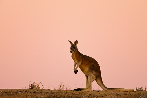 Carefree「A red kangaroo sits against a pink sky at dusk」:スマホ壁紙(18)