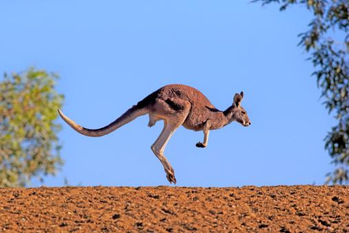 Kangaroo「Red kangaroo」:スマホ壁紙(19)