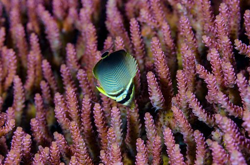 Butterflyfish「Juvenile Triangular Butterflyfish」:スマホ壁紙(19)