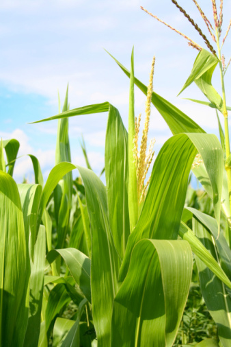 Indigenous Culture「Field of green corn during summer」:スマホ壁紙(9)