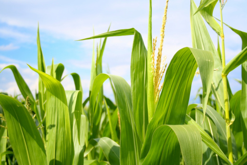Indigenous Culture「Field of green corn during summer」:スマホ壁紙(8)