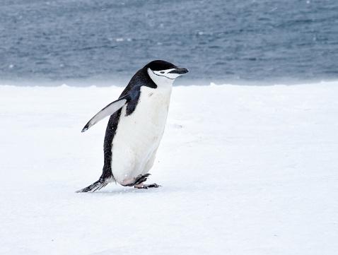 雪「ヒゲペンギン徒歩で Antarticta の雪」:スマホ壁紙(4)