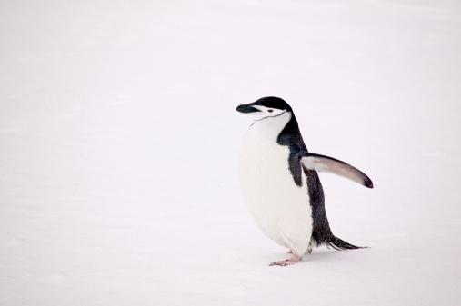 一匹「Chinstrap Penguin on Half Moon BAy」:スマホ壁紙(3)