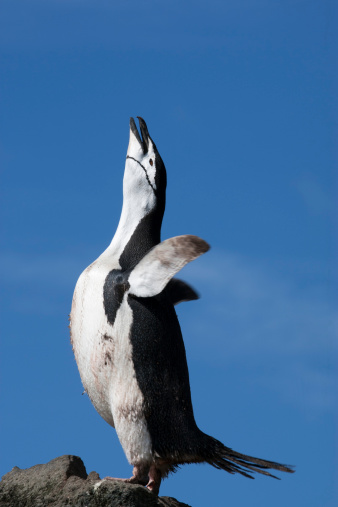 アイチョウ島「Chinstrap penguin. Ecstatic display.」:スマホ壁紙(1)