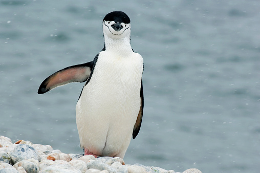 Flapping Wings「Chinstrap penguin (Pygoscelis antarctica) in snow beside bay」:スマホ壁紙(11)